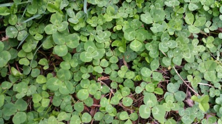 White Clover Patch
